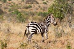 Zebra w obszarach trawiastych Serengeti przy świtem, Tanzania, wschód Zdjęcia Stock