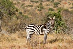 Zebra w obszarach trawiastych Serengeti przy świtem, Tanzania, wschód Zdjęcia Royalty Free