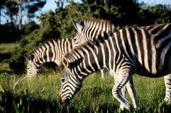 Zebra w opóźnionym słońcu Obrazy Royalty Free