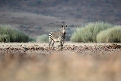 Zebra w Palmwag koncesji Kaokoland, Kunene region Namibia Zamazany przedpole zdjęcia stock