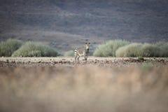 Zebra w Palmwag koncesji Kaokoland, Kunene region Namibia Zamazany przedpole Srogi krajobraz zdjęcia stock