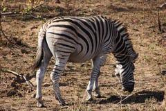 Zebra w południe - afrykański krzak Fotografia Stock