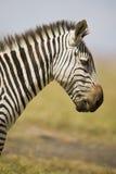 Zebra w profilu Zdjęcie Stock