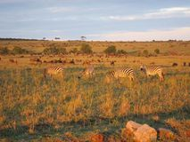 Zebra w ranku świetle Fotografia Royalty Free