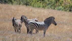 Zebra w słońcu Fotografia Stock