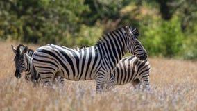 Zebra w słońcu Obrazy Stock