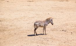 Zebra w safari świacie, Bangkok Tajlandia Fotografia Royalty Free