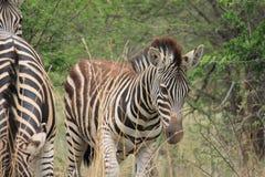 Zebra w sawannie Zdjęcia Royalty Free
