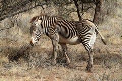 Zebra w sawannie Afryka Zdjęcia Royalty Free