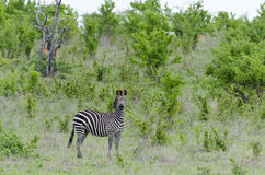 Zebra w Selous Obrazy Stock