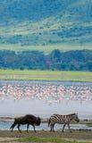 Zebra w tło flamingu Kenja Tanzania Park Narodowy kmieć Maasai Mara Fotografia Royalty Free