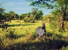 Zebra w trawie na Afrykańskiej sawannie. obrazy stock