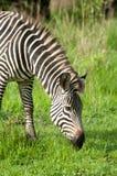 Zebra w Zielonych obszarach trawiastych Zdjęcie Stock