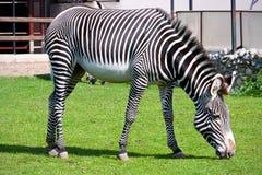 Zebra w zoo Fotografia Stock