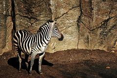 Zebra waiting.. Royalty Free Stock Photo