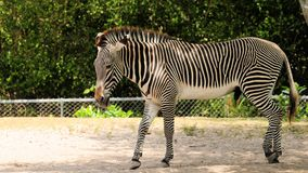 Zebra walking Stock Image
