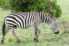 Zebra walking Royalty Free Stock Photos