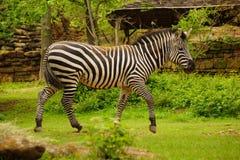 Zebra walking. Stock Photo