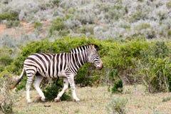 Zebra walking away from the tribe Stock Photo