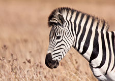 Zebra walking in grass land Royalty Free Stock Images
