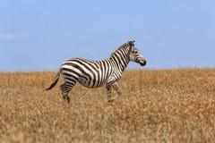 Zebra walking in the grass at masai mara Royalty Free Stock Photography