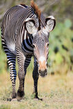 Zebra walking with his head down Royalty Free Stock Images