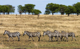 Zebra walking. In line in the savannah of the Serengeti, Africa Royalty Free Stock Images