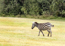 Zebra walking Royalty Free Stock Photo