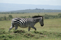 Zebra walking Royalty Free Stock Image