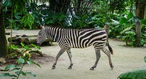Zebra walking at the park in Bangkok, Thailand Stock Photo