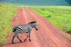 Zebra walking at road Stock Photo