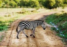 Zebra walking on road on African savanna. stock photos