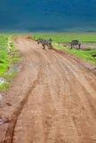 Zebra walking at road Royalty Free Stock Image