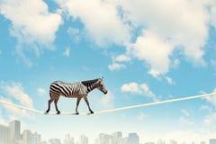 Zebra walking on rope Stock Photo