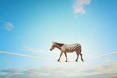 Zebra walking on rope Stock Images