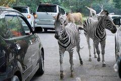 Zebra walking at the Safari park Stock Image
