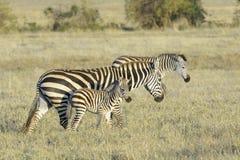 Zebra walking on savanna Stock Photo