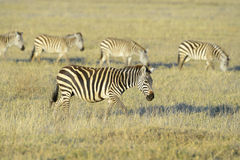 Zebra walking on savanna Royalty Free Stock Photo