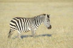 Zebra walking on savanna Royalty Free Stock Images