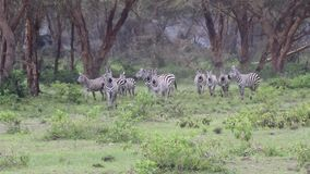 Zebra walking and then looking stock video footage