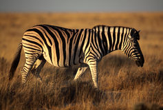 Zebra walking the yellow grasslands of Etosha Royalty Free Stock Photo