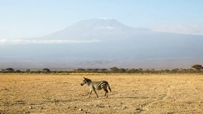 Zebra walking with mt kilimanjaro in the distance at amboseli, kenya. A zebra walks across the plain with mt kilimanjaro in the distance at amboseli, national royalty free stock images