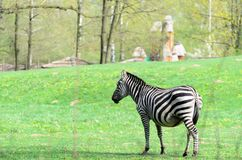 Zebra walks around the catwalk outside on a sunny day. Zebra walks around the catwalk outside on sunny day Royalty Free Stock Photos