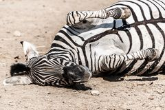 Zebra wallowing on the dusty ground. Funny animal. Africa.  royalty free stock image