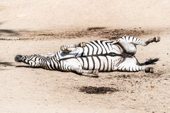 Zebra wallowing on the dusty ground. Funny animal. Africa.  royalty free stock images