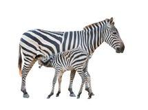 Zebra was breastfeeding Stock Photo