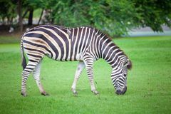Zebra was eating. Grass in the park Stock Photo