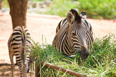 Zebra was eating grass Stock Photo