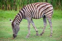 Zebra was eating grass. In the park Royalty Free Stock Image