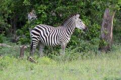 Zebra. This Zebra was enjoying the early morning sunshine royalty free stock image